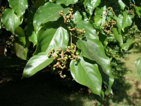 The Hovenia Dulcis Plant, photo by: Cirilo Nelson @ Tropicos.org. Missouri Botanical Garden. 07 Feb 2012