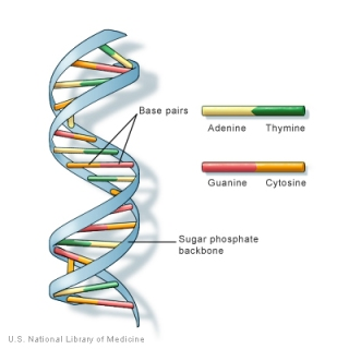 The double helix structure of DNA